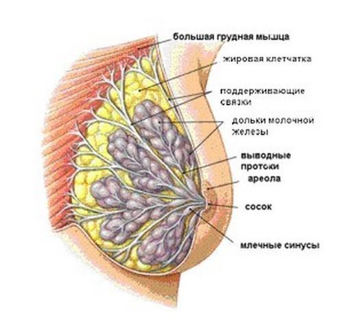 Объем женской груди создают три вида ткани - мышечная (большая и малая